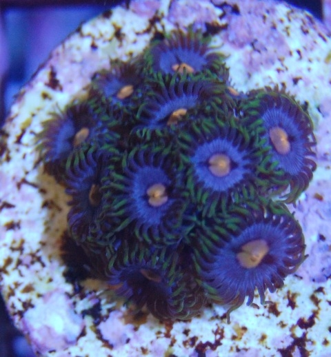 how to cut coral frags